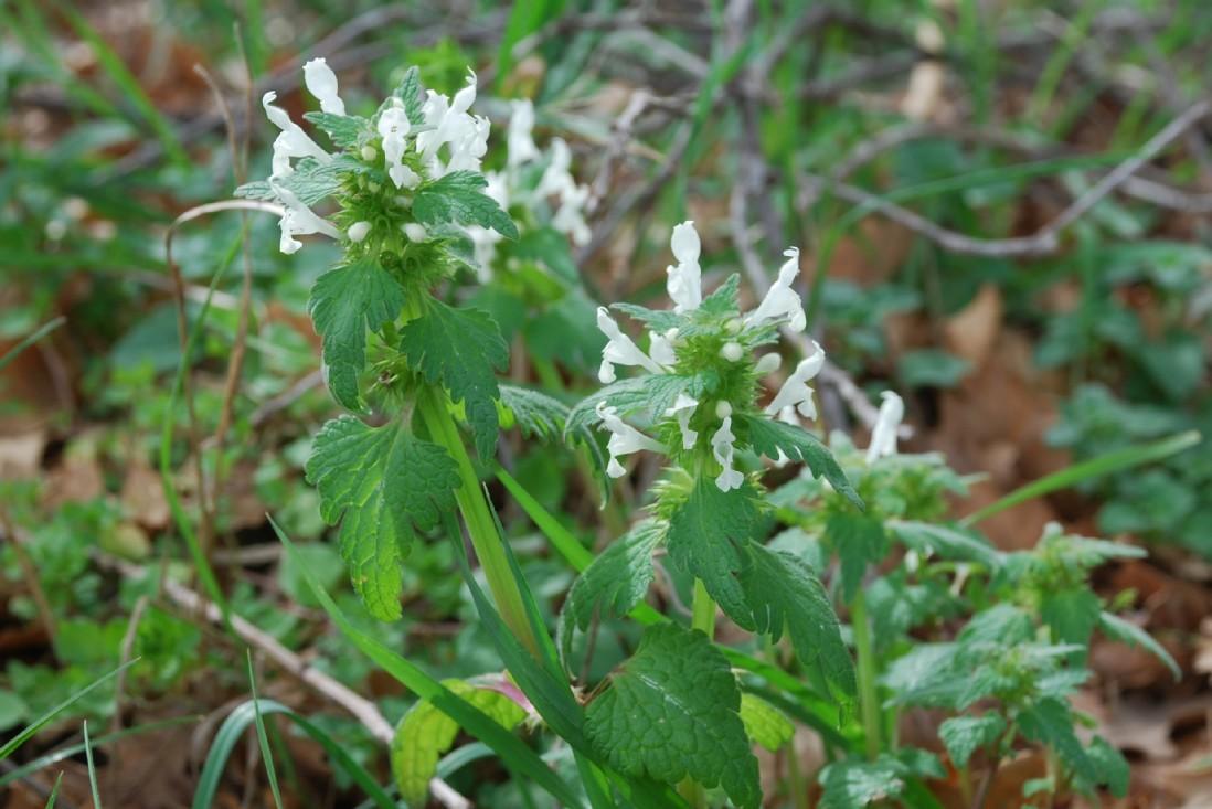 Lamium bifidum subsp. bifidum 17