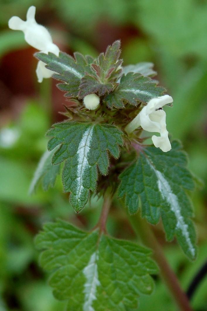 Lamium bifidum subsp. bifidum 2