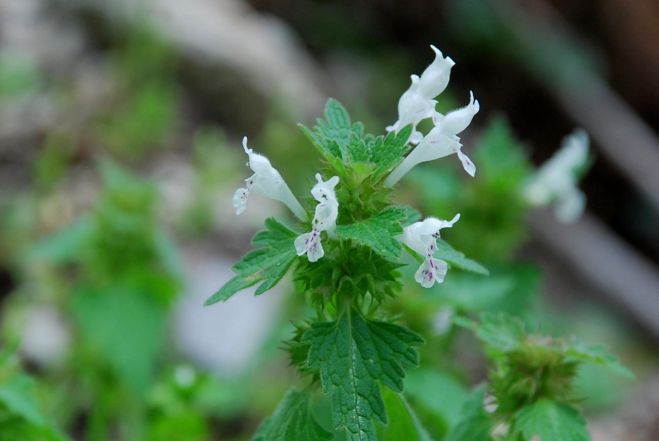 Lamium bifidum subsp. bifidum 20