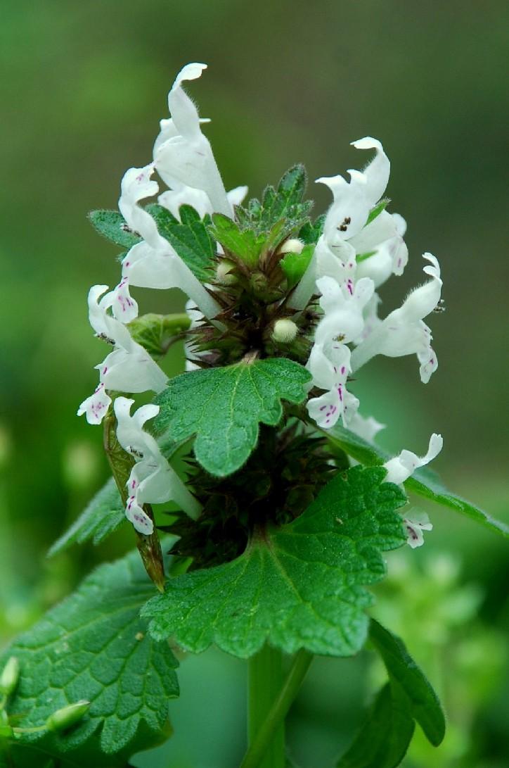 Lamium bifidum subsp. bifidum 21