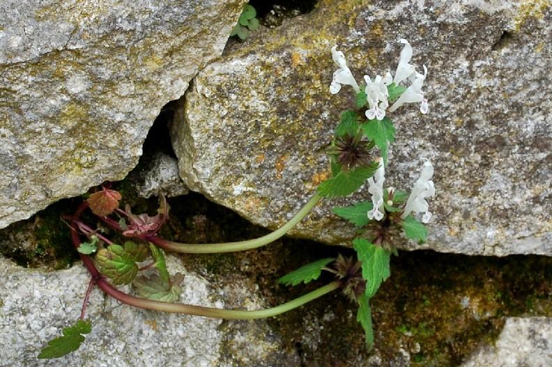 Lamium bifidum subsp. bifidum 22