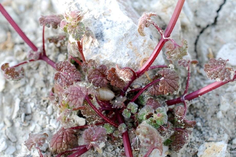 Lamium bifidum subsp. bifidum 26