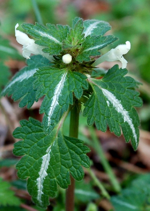 Lamium bifidum subsp. bifidum