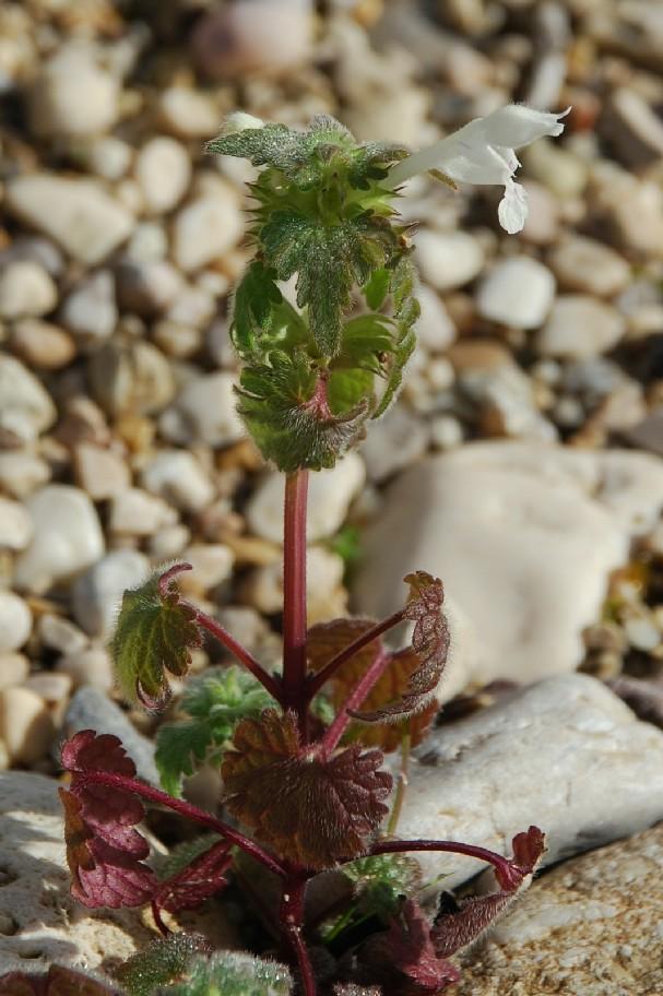 Lamium bifidum subsp. bifidum 5