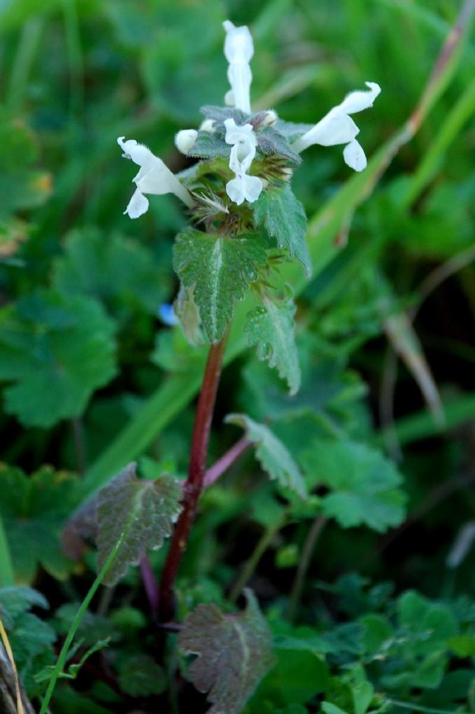 Lamium bifidum subsp. bifidum 6