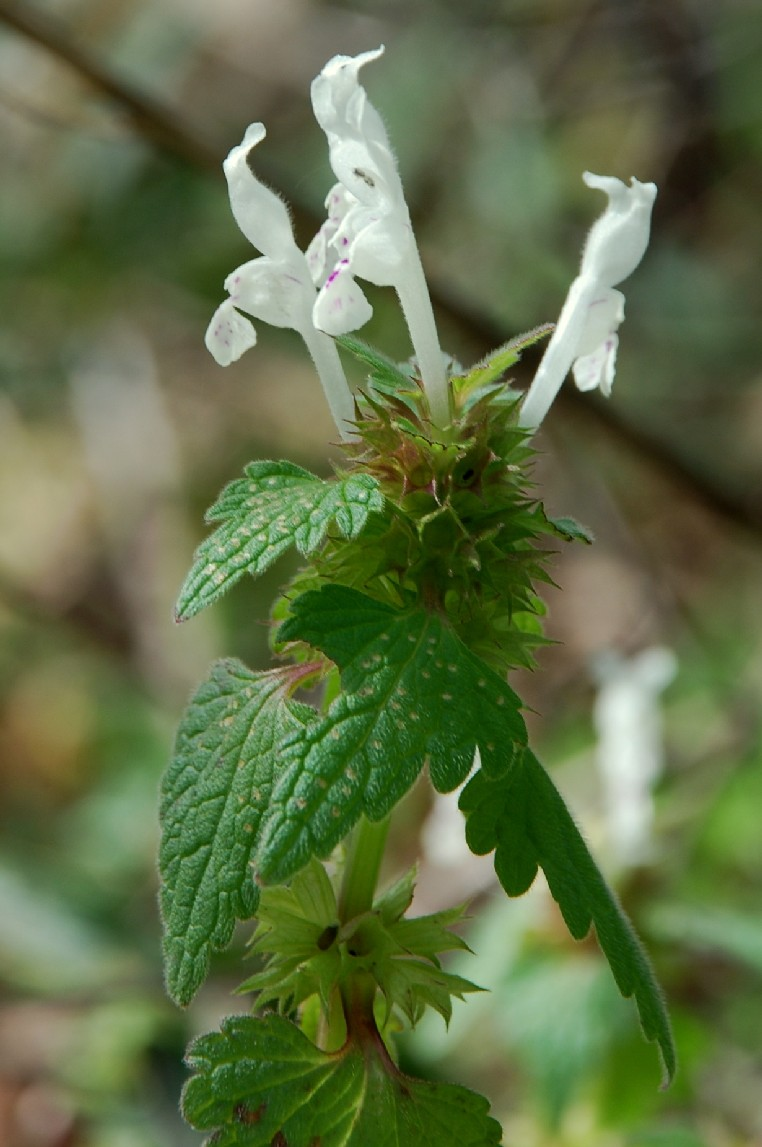 Lamium bifidum subsp. bifidum 8