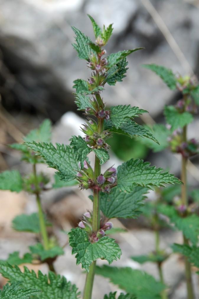 Lamium garganicum subsp. laevigatum 4
