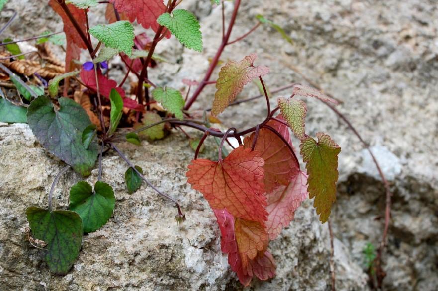 Lamium garganicum subsp. laevigatum 13