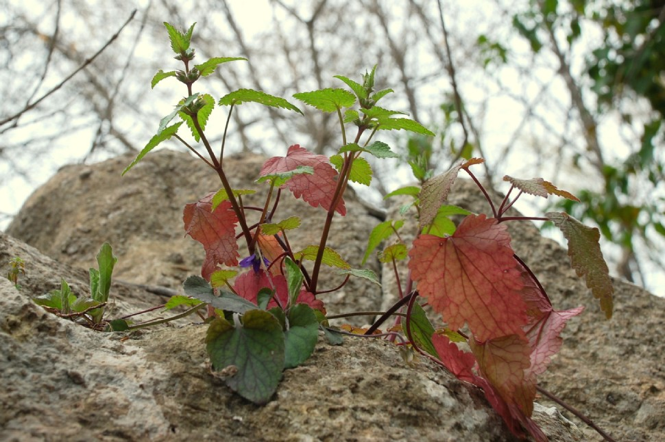 Lamium garganicum subsp. laevigatum 14
