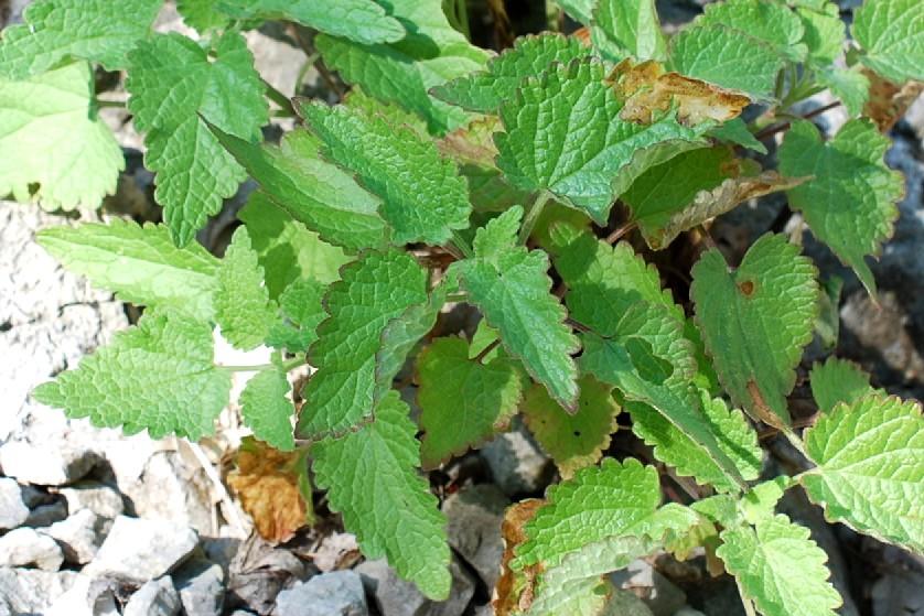 Lamium garganicum subsp. laevigatum 16