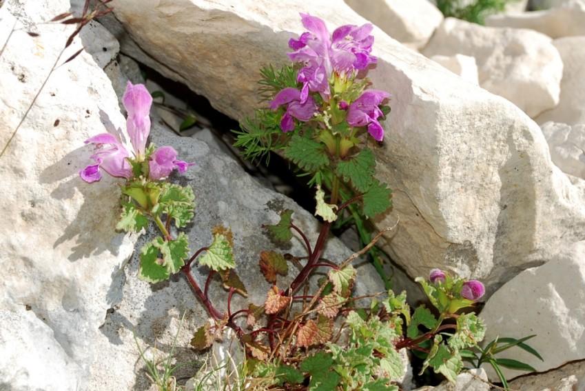 Lamium garganicum subsp. striatum