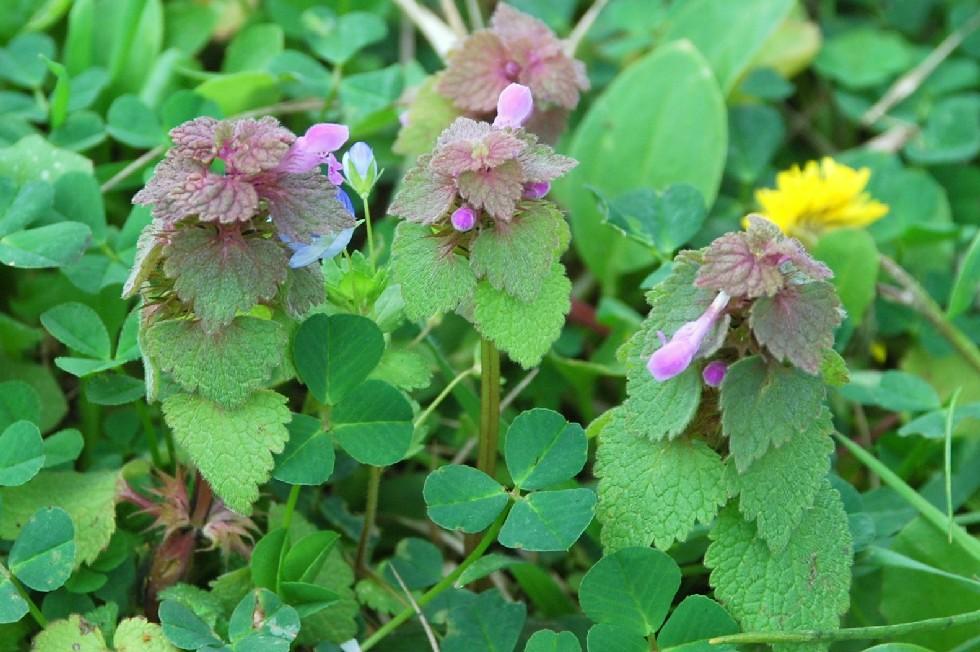Lamium purpureum 10