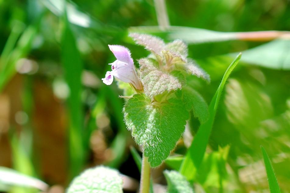 Lamium purpureum 13