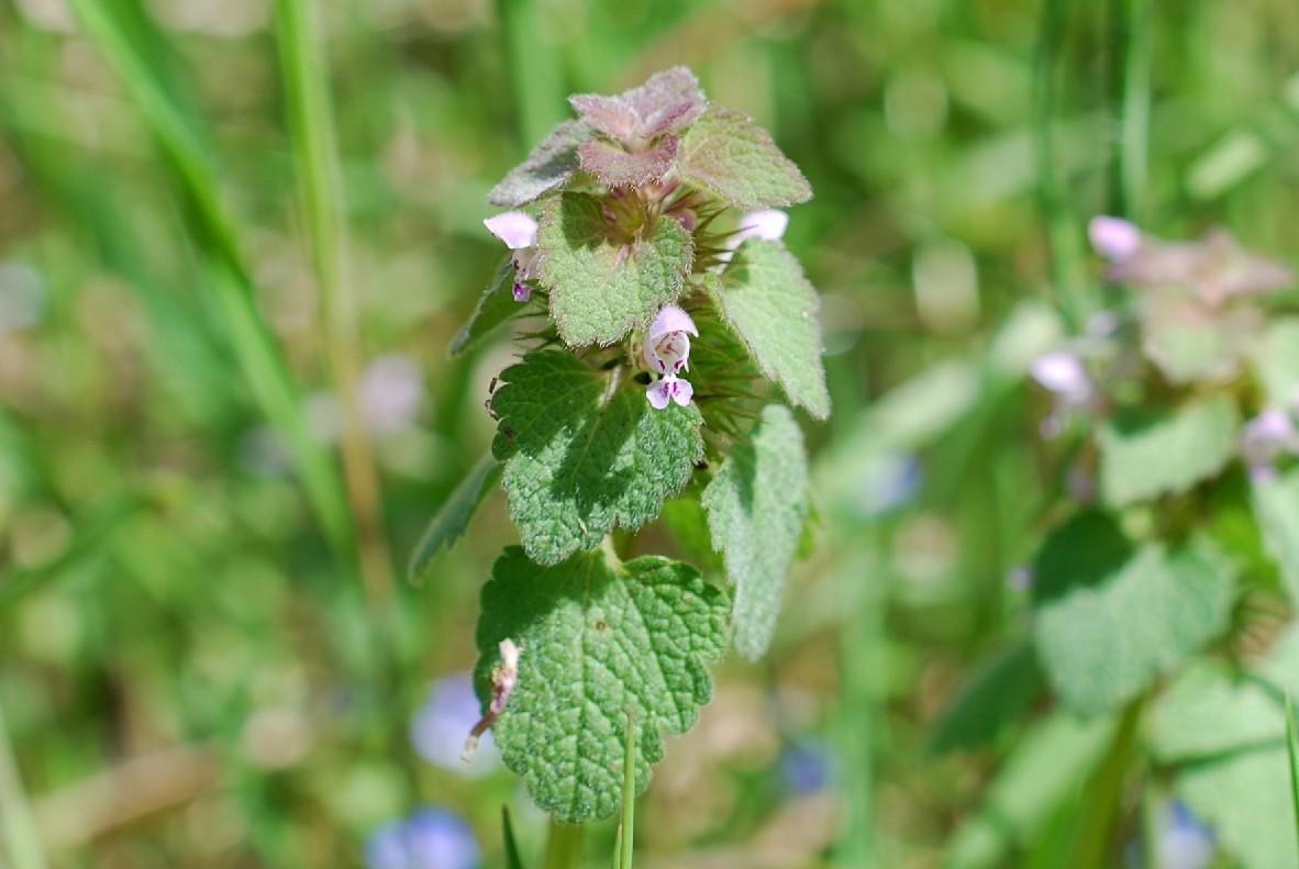 Lamium purpureum 14