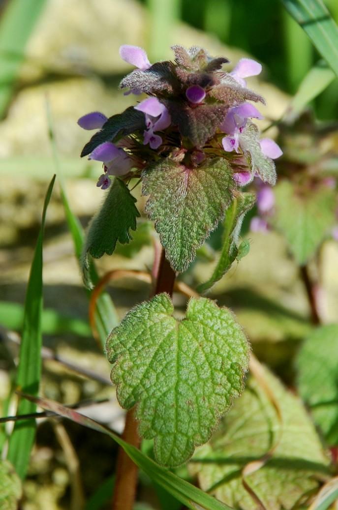 Lamium purpureum 5
