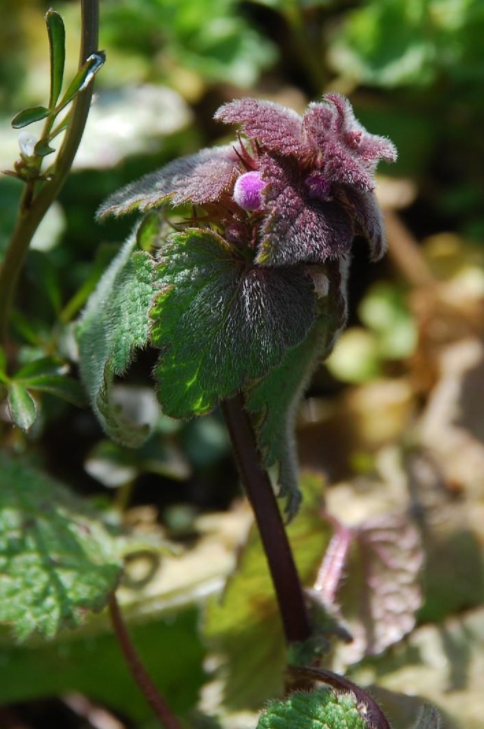 Lamium purpureum 7