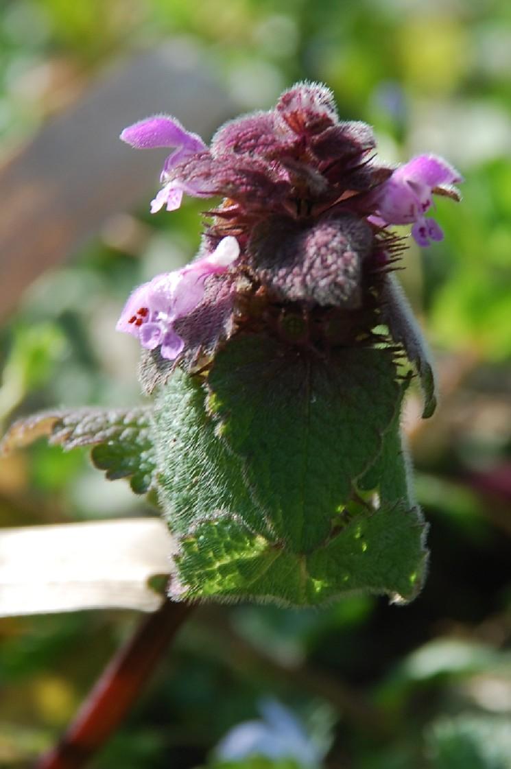 Lamium purpureum 8