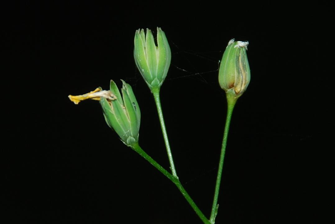 Lapsana communis subsp. communis 16