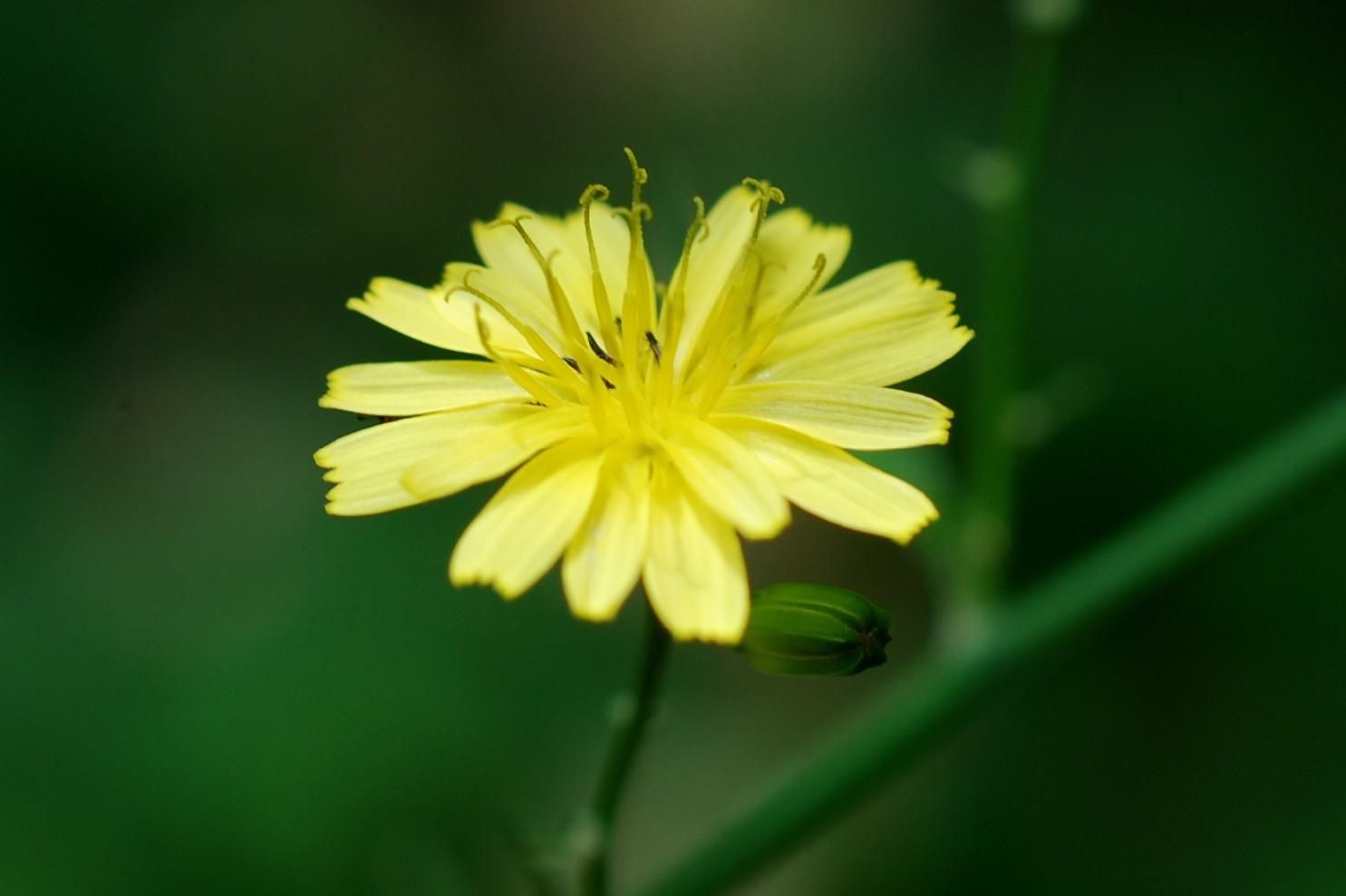 Lapsana communis subsp. communis 25