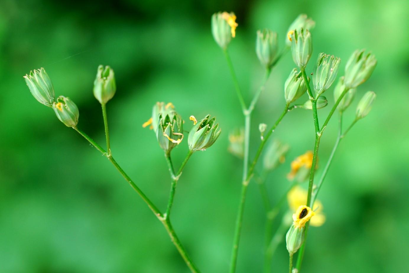 Lapsana communis subsp. communis 29