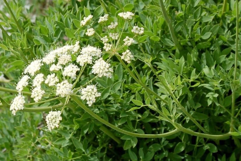 Laserpitium siler subsp. siculum