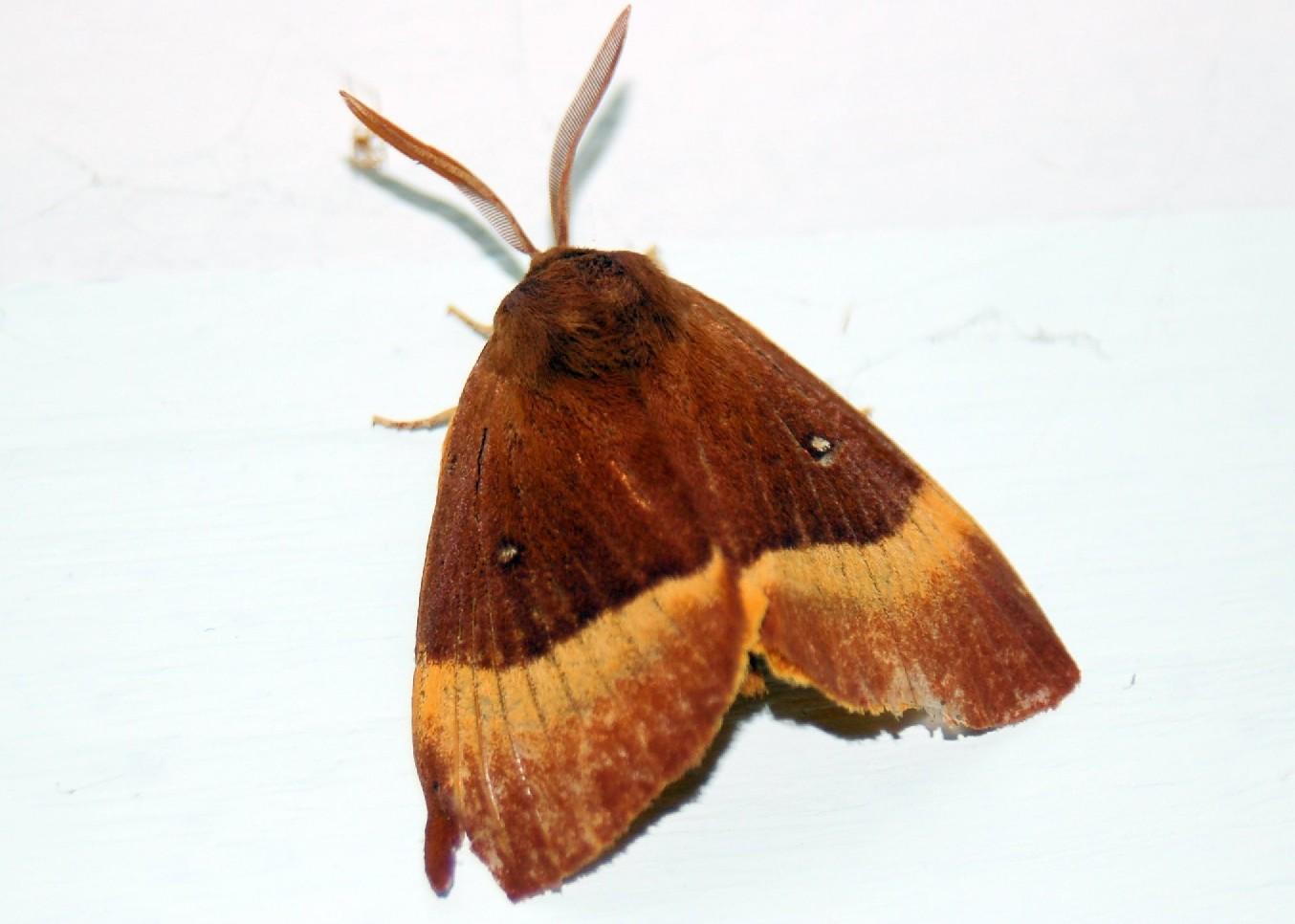 Lasiocampa quercus - Lasiocampidae