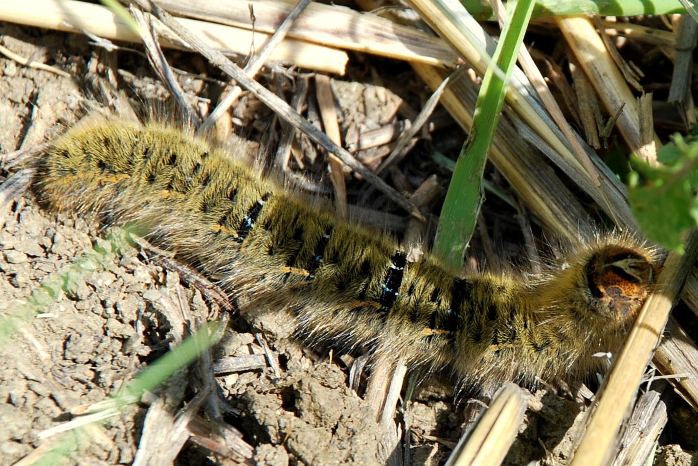 Lasiocampa trifolii - Lasiocampidae