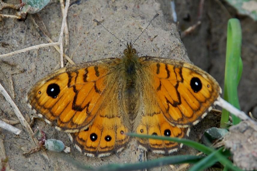 Lasiommata megera - Nymphalidae