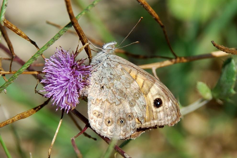Lasiommata sp. - Nymphalidae