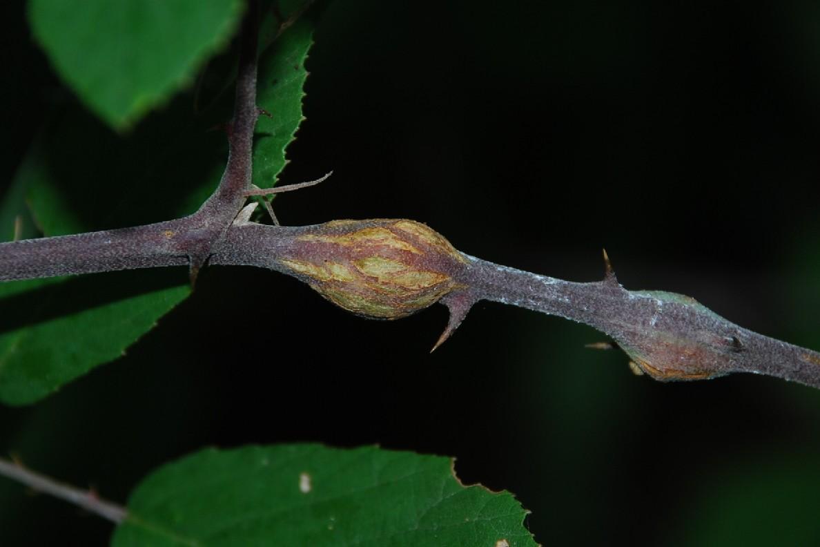 Lasioptera rubi - Diptera, Cecidomyiidae
