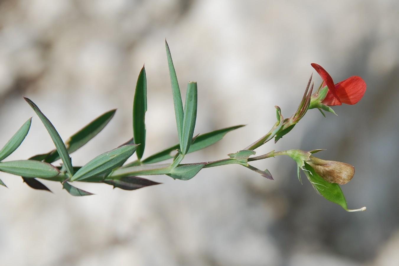 Lathyrus cicera 6