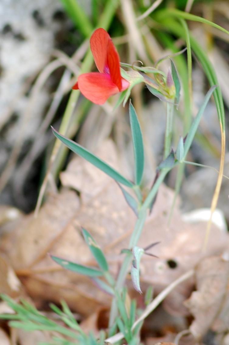 Lathyrus cicera 7