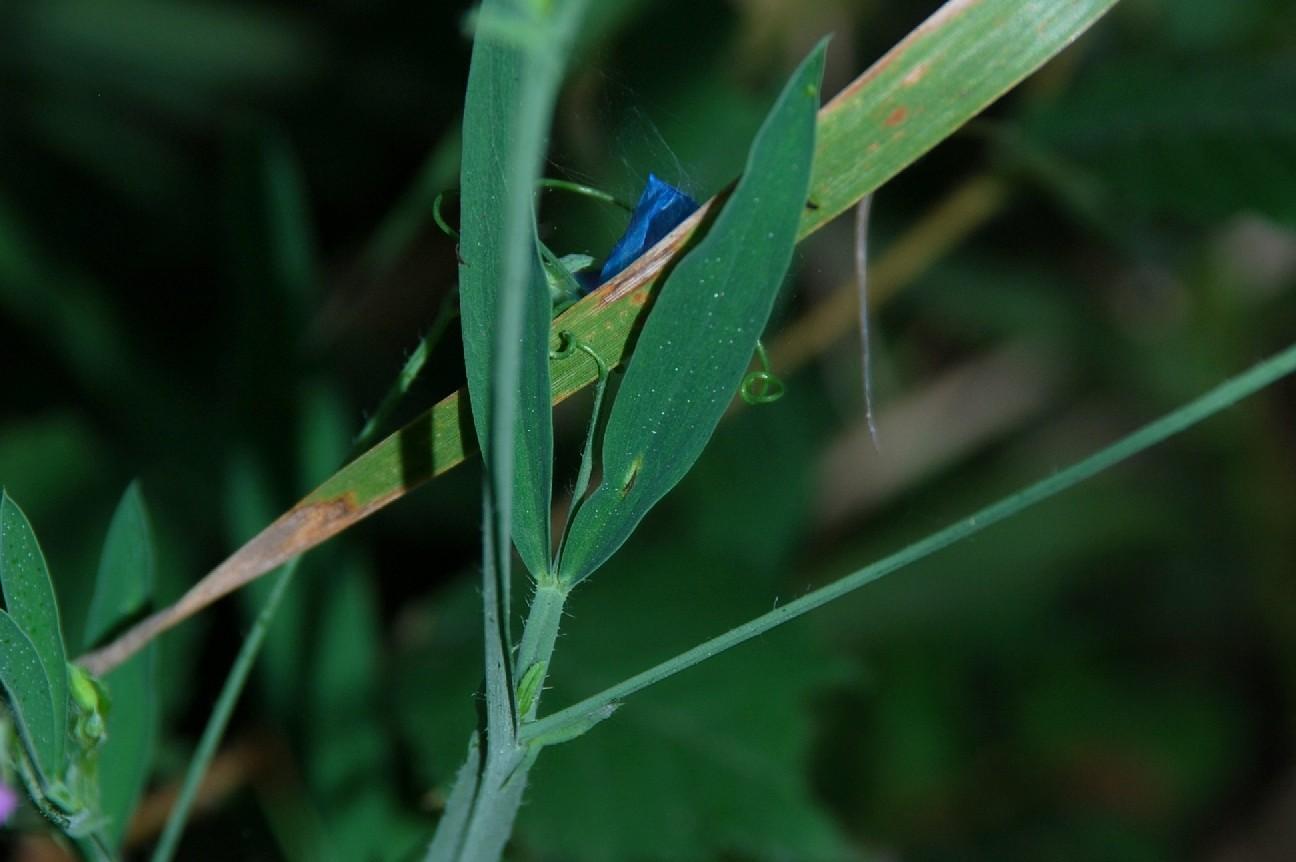 Lathyrus hirsutus 27