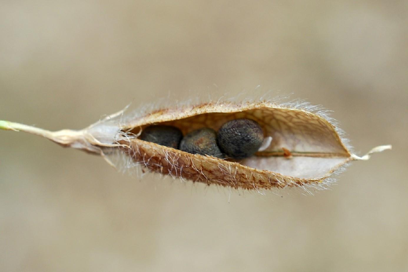 Lathyrus hirsutus 37