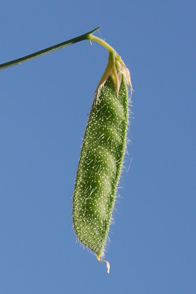 Lathyrus hirsutus 8