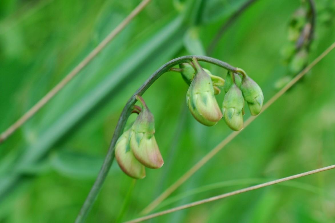 Lathyrus latifolius 12