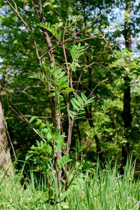 Lathyrus niger subsp. niger 14