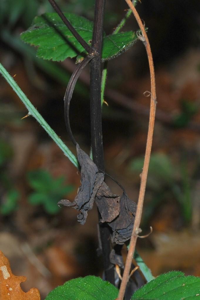 Lathyrus niger subsp. niger 16