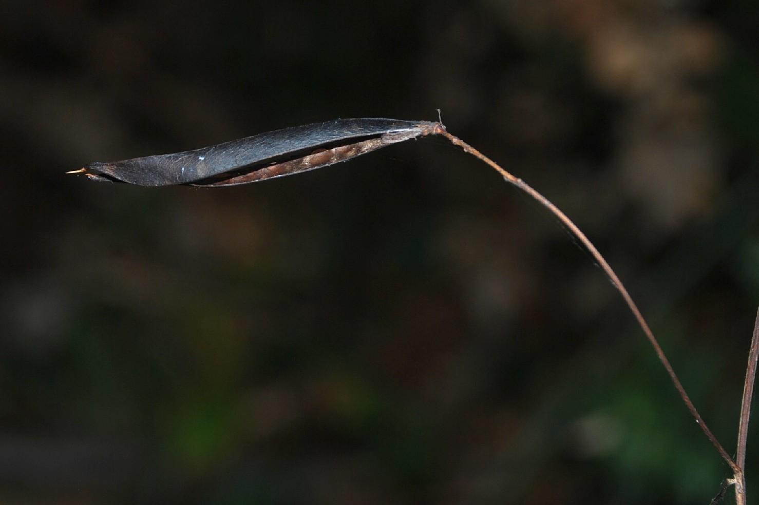 Lathyrus niger subsp. niger 17