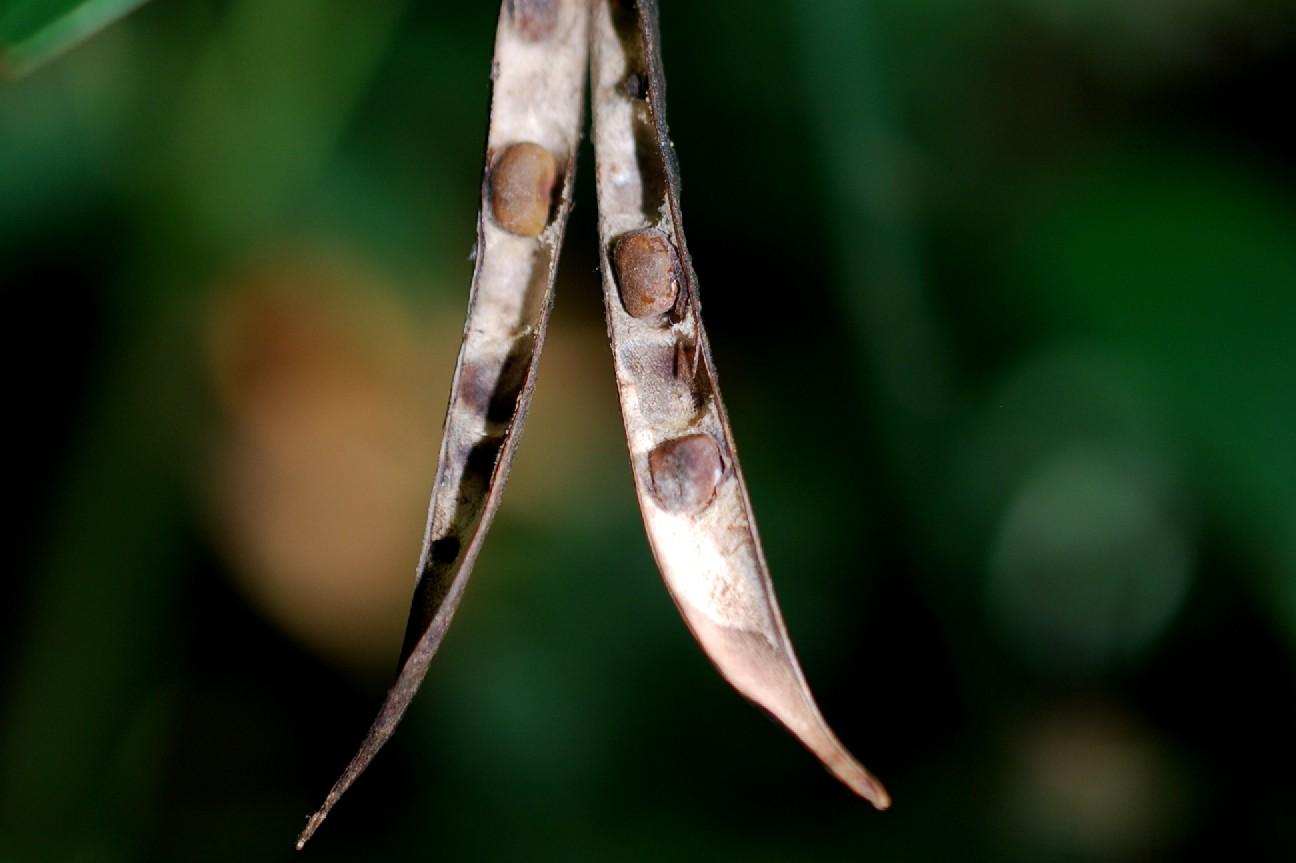 Lathyrus niger subsp. niger 23