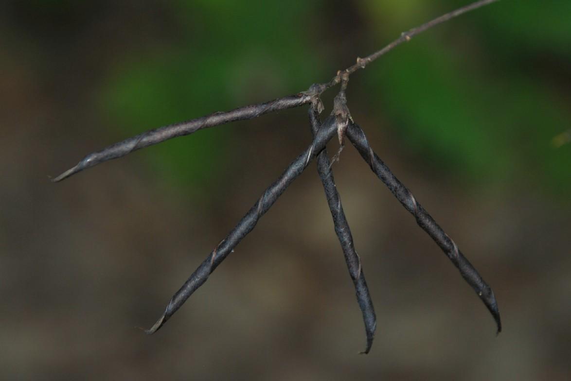 Lathyrus niger subsp. niger 5