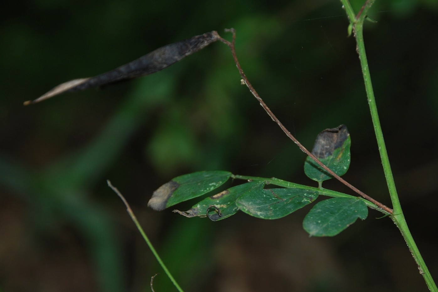 Lathyrus niger subsp. niger 6