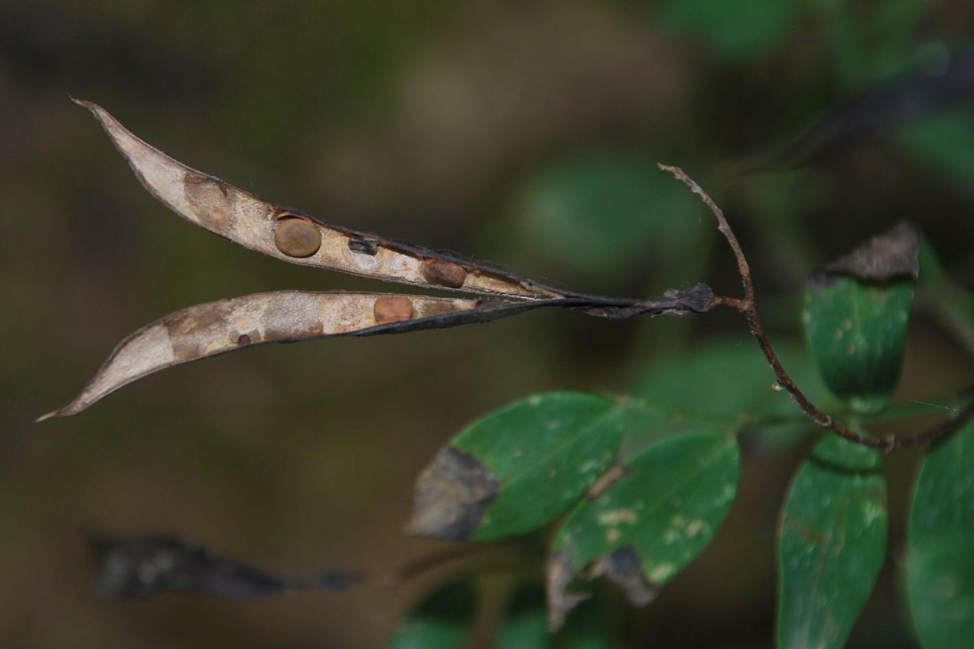 Lathyrus niger subsp. niger 7