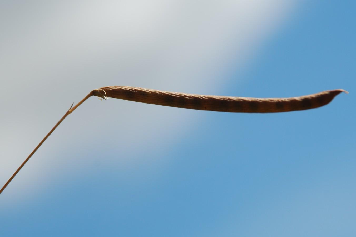 Lathyrus nissolia 7