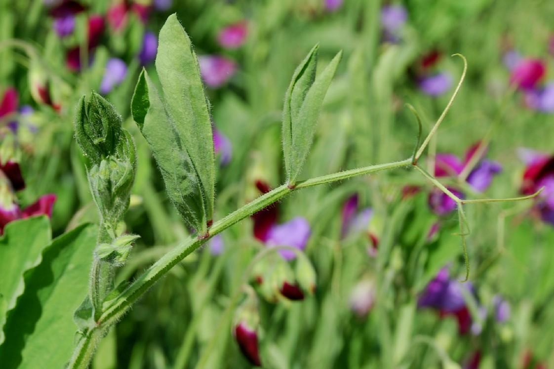 Lathyrus odoratus 9