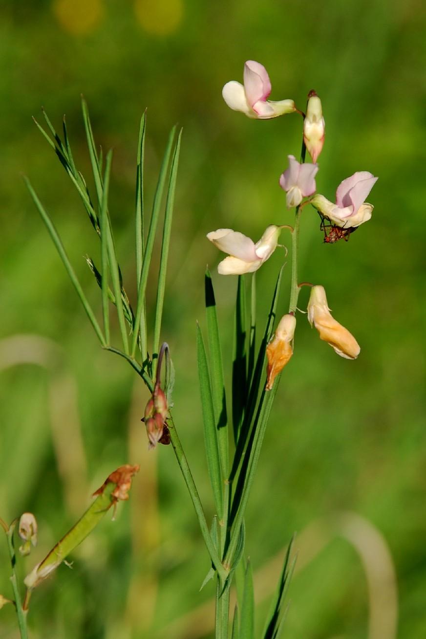 Lathyrus pannonicus subsp. varius
