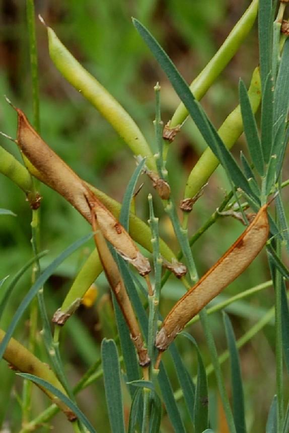 Lathyrus pannonicus subsp. varius 2