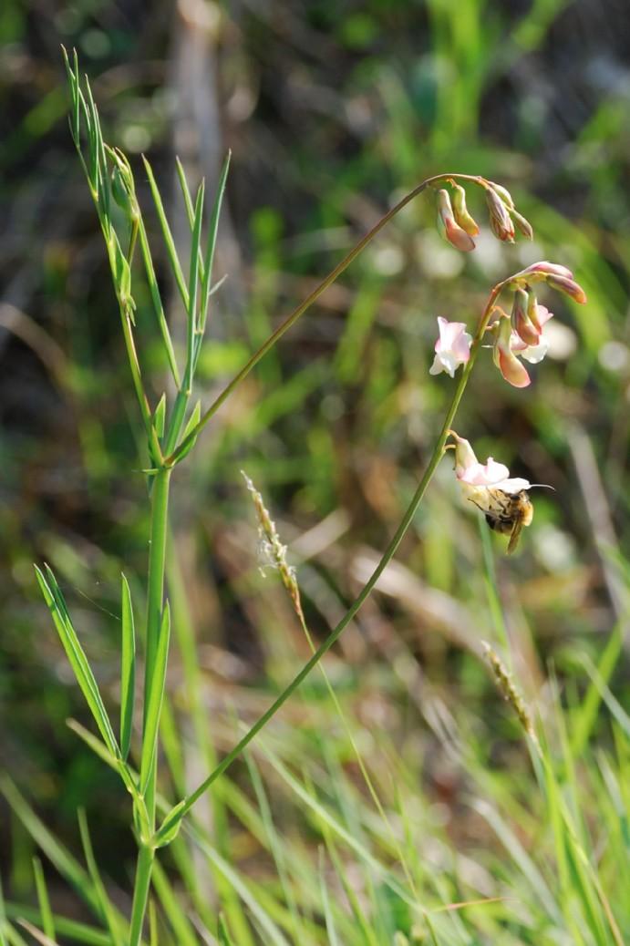 Lathyrus pannonicus subsp. varius 7
