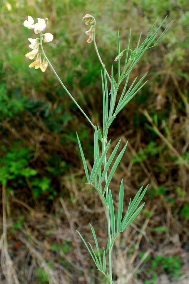 Lathyrus pannonicus subsp. varius 8