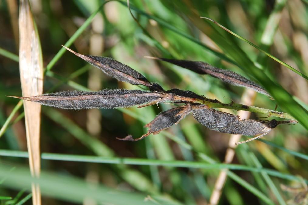 Lathyrus pratensis 6